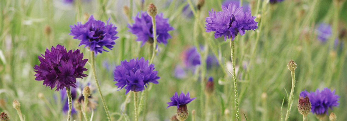 (slideshow 3 cornflowers)